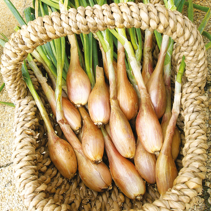 Shallot Bulbs Pesandor - French 400g Pack