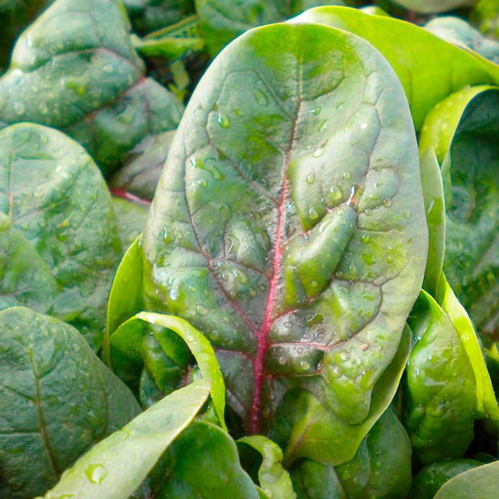 Spinach Seeds - Rubino F1