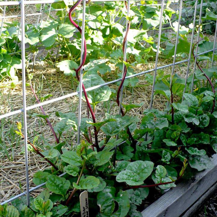 Spinach (Malabar) Seeds - Red