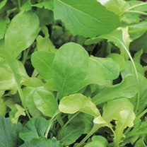 Leaf Salad Italian Mix Seeds