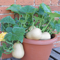 Squash Butterbush F1 Seeds