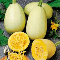 Squash Plants - Spaghetti