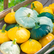 Squash Patty Pan Plants - Collection