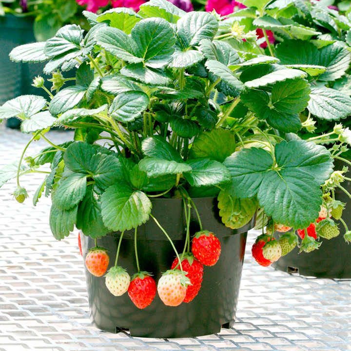 Strawberry Seeds - Temptation F1