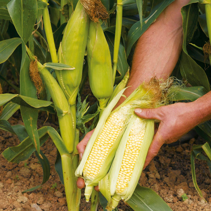 Sweet Corn Plants - Earlibird F1