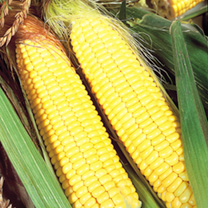 Sweet Corn Seeds - Sundance F1 - Triple Pack