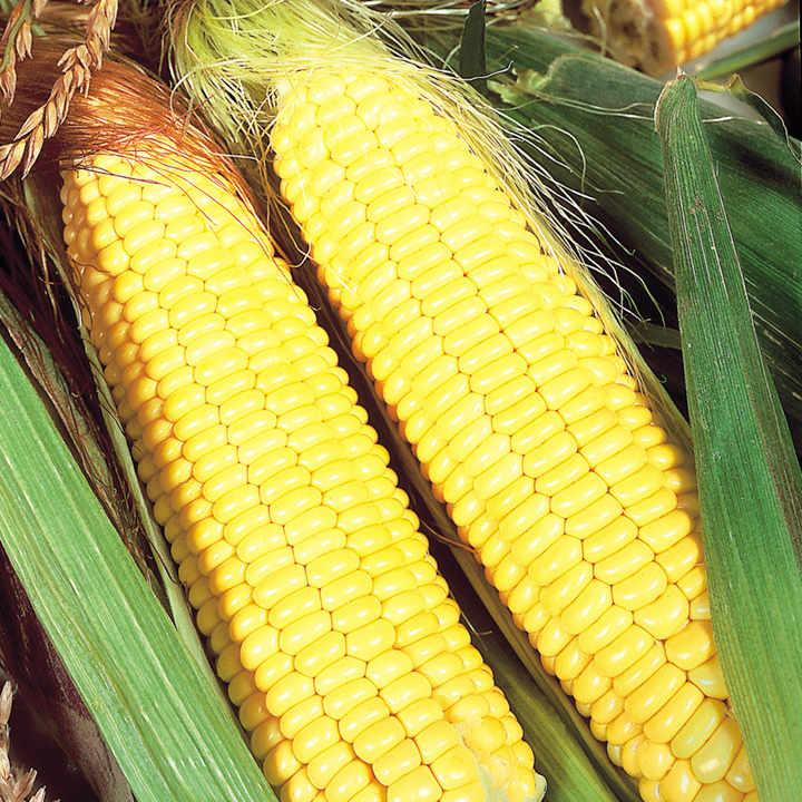how to prepare american sweet corn