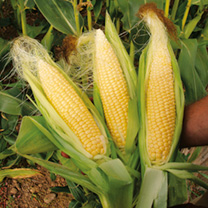 Sweet Corn Sweetie Pie F1 Seeds