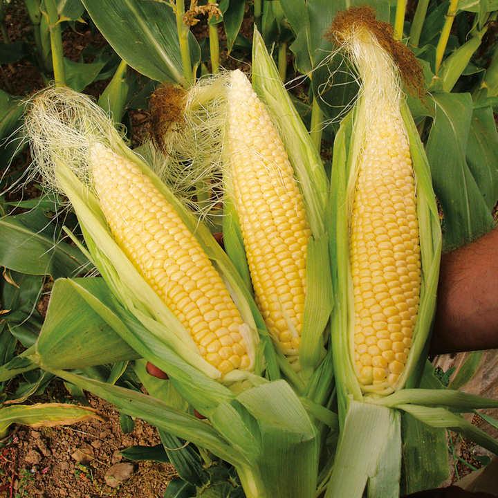 Corn Plant sweet corn sweetie pie f1 seeds - dobies