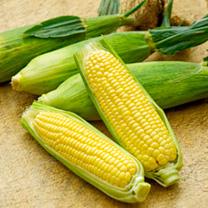 Sweet Corn Seeds - Mirai Picnic F1