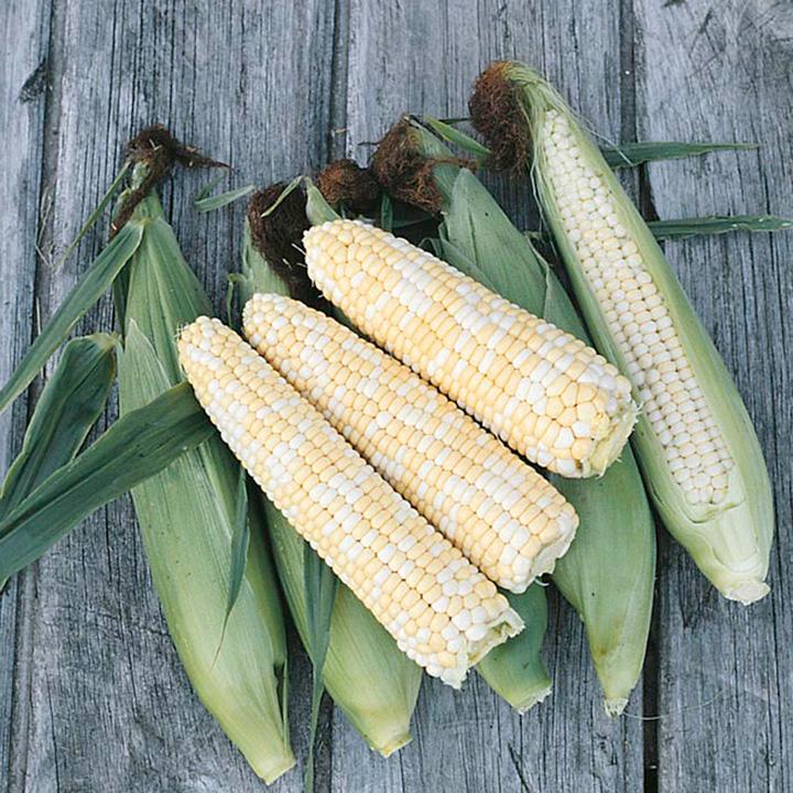 Sweet Corn Plants - Double Standard