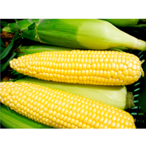 Sweet Corn Plants Vanilla Sweet