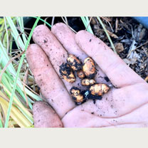 Tiger Nuts Plants