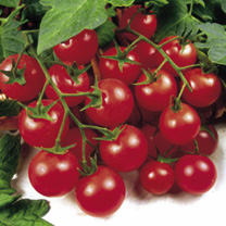 Grafted Tomato Plant - Quad Cherry