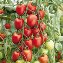 Grafted Tomato Plant - Quad Plum