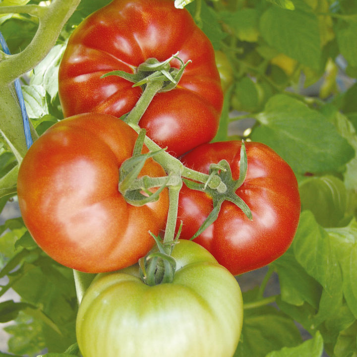 Tomato Seeds - Country Taste F1