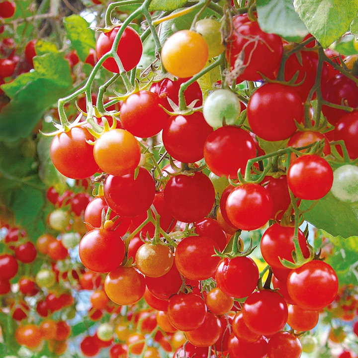 Tomato Plants - F1 Hundreds and Thousands (Micro)