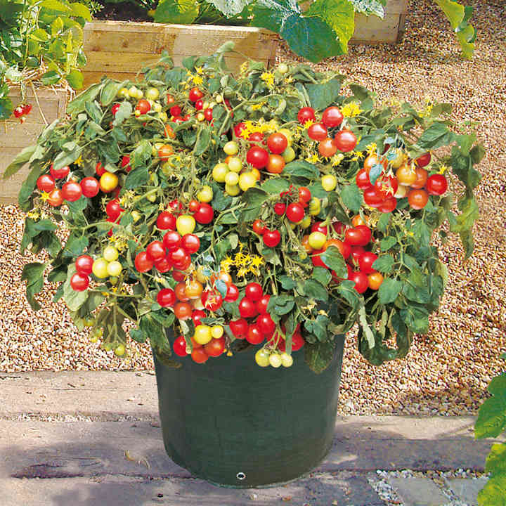 Tomato Seeds - Tumbler F1