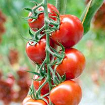 Grafted Tomato Plants - F1 Orangino/F1 Florryno Twins