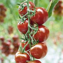 Grafted Tomato Plants - F1 Florryno/F1 Zebrino Twins