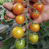 Grafted Tomato Plants - F1 Orangino
