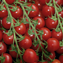 Tomato Grafted Plants - Favourita