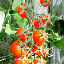 Tomato Plants - Sungold