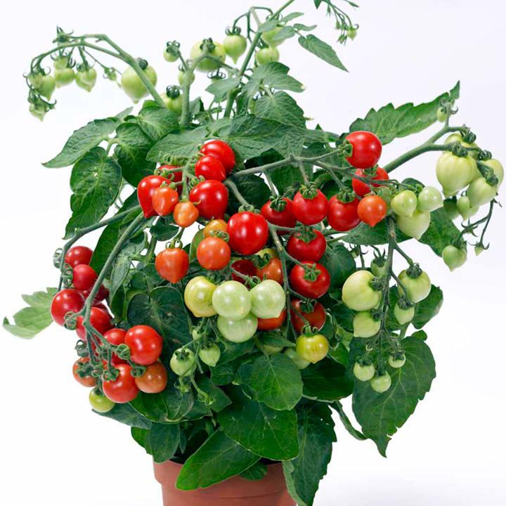 Tomato Plant - F1 Heartbreaker Vita