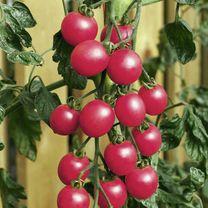 Tomato Seeds - Pink Baby Plum F1