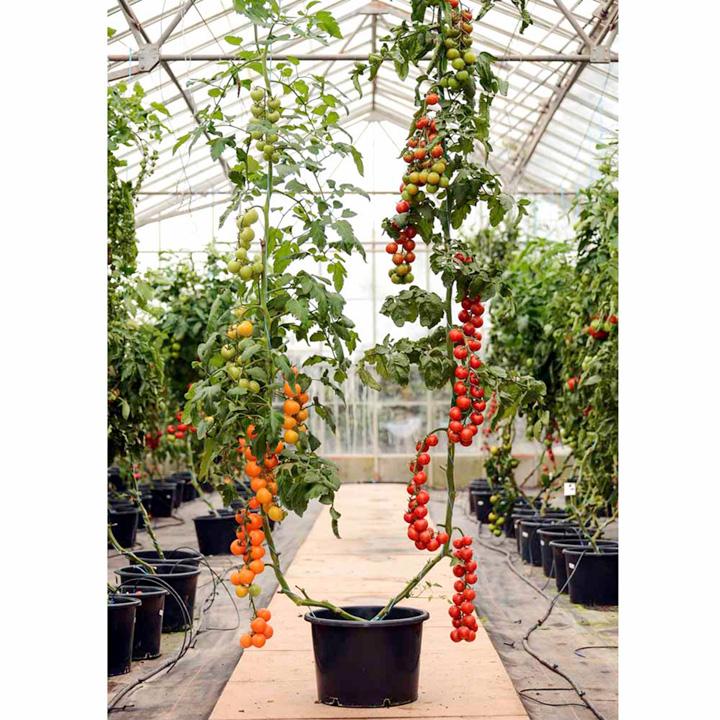 Grafted Duo Tomato Plants - F1 Orange Paruche/Sweet Petit