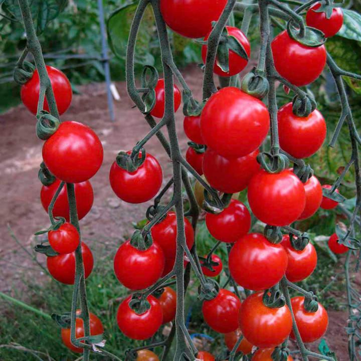 Tomato Plants - Sweet Aperitif