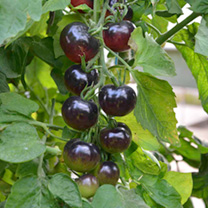 Grafted Tomato Plant - The Black Tomato Indigo Rose