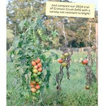 Tomato Plants - F1 Crimson Crush