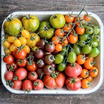 Tomato Plants - Salad Collection
