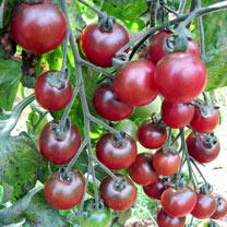 Tomato Plants - Rosella