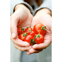 Grafted Tomato Plants - Gardener's Delight