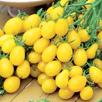 Tomato Plants - Ildi