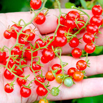 Grafted Tomato Plants - Red Currant