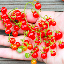 Grafted Tomato Plants - Red/Yellow Currant Twin Pack