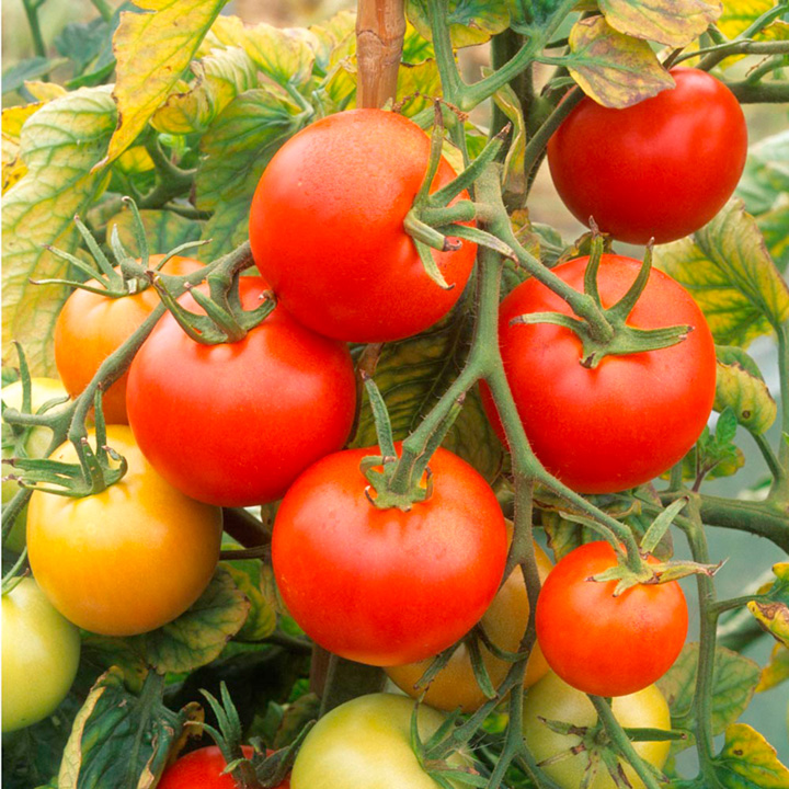 Grafted Tomato Plants - Nimbus