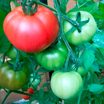 Grafted Tomato Plants - Heinz 1370