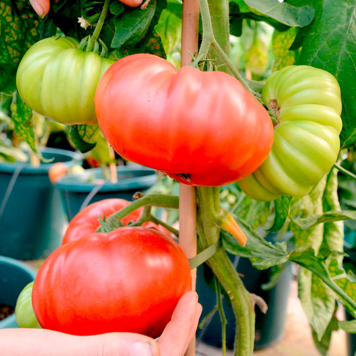 Grafted Tomato Plants - F1 Crimson Beefsteak