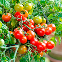 Tomato Tumbling Bella Plants + Wicker Hanging Baskets