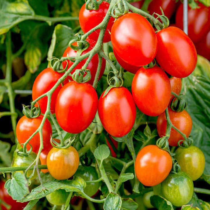 Tomato Seeds - Montello F1
