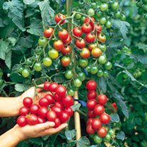 Tomato Plants - Growbag Collection