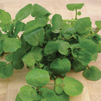 Leaf Salad Watercress Aqua Seeds