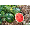 Watermelon Grafted Plants - Mini Love