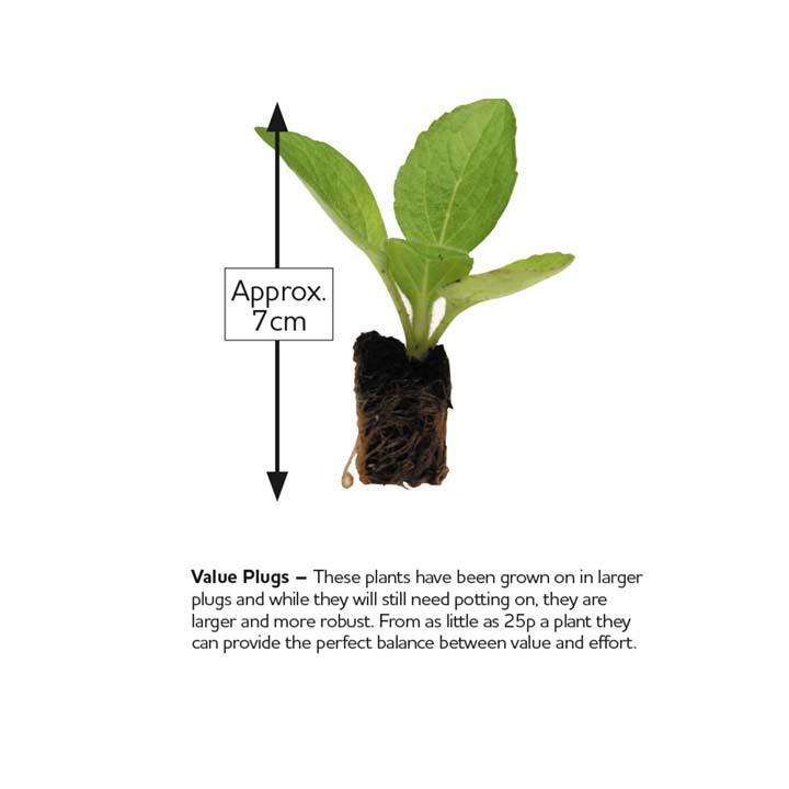 Begonia Plants - F1 President