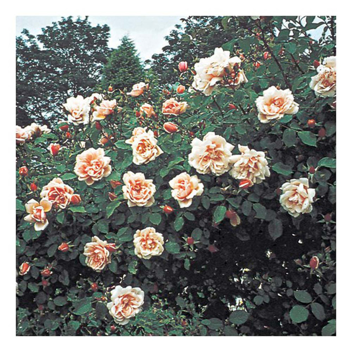 Rose Plant - Albertine