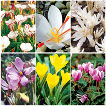 Autumn Flowering Bulbs Lucky Dip